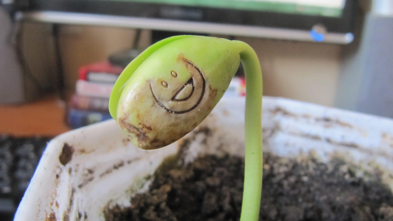 как вырастить бобы в домашних условиях фото каркасной